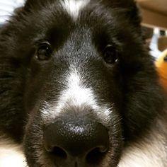 ぬーん写真💕なんだかイメージと違う😂 _______________________________________________________________#shetlandsheepdog#シェットランドシープドッグ#sheltie#シェルティ#shelties#シェルティー#犬バカ部#ふわもこ部#pets#ペット#dog#dogs#愛犬#JKC#biblack#バイブラック#angelo#アンジェロ