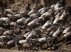 #MigrationMonday Update - 02 September 2019  Safari guide Jacupa Martinez witnessed thousands of the Great Migration crossing point number 4 in the Serengeti's Lamai Wedge, from the Kogatende.🐾🌿  Thank you HerdTracker for this week's update!