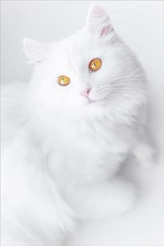 What a strikingly beautiful cat !!. I am in love.... those glorious eyes are drawing me in. MEOW