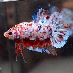 RARE-Live-Betta-Fish-Male-BIG-ONE-Fancy-KOI-FULL-GALAXY-STAR-Halfmoon-PK-401