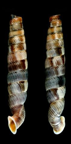 Gongylostoma (torrecoptis) cf amica – Pin's Page Underwater Creatures, Ocean Creatures, Jewel Of The Seas, Snail Shell, Shell Beach, Patterns In Nature, Natural Texture, Marine Life, Under The Sea