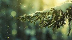 Magico abete    #fir #flowers #flower #garden #beautifulflowers #iloveflowers #flowerpower #white #winter #green #evergreen #snow www.thegreenrevolution.it