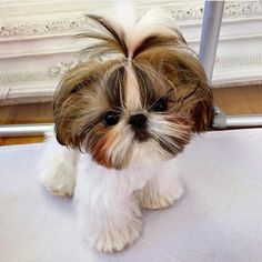 See our site for additional information on It is an exceptional location to learn more. Perro Shih Tzu, Shih Tzu Puppy, Shih Tzus, Cute Puppies, Dogs And Puppies, Doggies, Teddy Bear Dog, Dog Haircuts, Puppy Cut