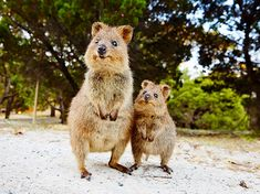 The Quokka, known as & happiest animal in the world& is native to sm. The Quokka, known as & happiest animal in the world& is native to small islands off the coast of Western Australia. Happy Animals, Animals And Pets, Funny Animals, Cute Animals, Strange Animals, Animals Images, Beautiful Creatures, Animals Beautiful, Photo Animaliere