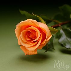 Rio Roses - Orange Unique