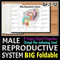 This free printable reproductive system worksheet and video will male reproductive system big foldable for interactive notebooks or binders ccuart Gallery
