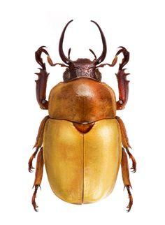 Fruhstorferia kinabalensis