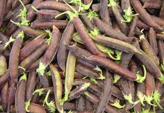 Capucijnererwt - Pisum sativum 'Blauwschokkers'  (eigen oogst)