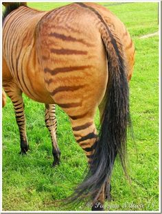 """The dorsal stripe on """"Stormy"""" the Zorse in France - photo by Passion Nature 78"""