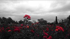 Semana Especial Buenos Aires.  Passeando pelos bosques do bairro de Palermo a área de lazer mais popular entre os moradores da cidade encontramos o Rosedal. Os românticos devem visitar as mais de 18.000 espécies de rosas e se encantar com cada uma delas. Toda  essa beleza está emoldurada pelos lagos artificiais de Palermo.  #Majó #ParaUmNovoTempo #UmaNovaArquitetura #semanaespecial #arquitetos #ferias #diariodeviagem #buenosaires #argentina #dicas #arquitetura #design #decor #urbano…