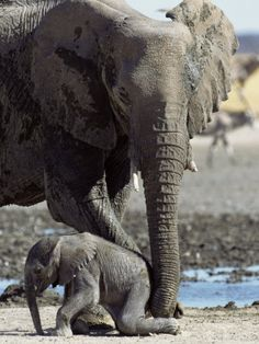 African Elephant female helping her baby!  Beautiful!!
