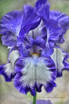 New Flowers Purple Bearded Iris 27 Ideas Unusual Flowers, Amazing Flowers, Beautiful Flowers, Iris Flowers, Purple Flowers, Planting Flowers, Purple Iris, Flowers Garden, Flower Garden Plans