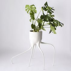 Maybe it's the slightly spidery look to the legs which support the pots' weight. Maybe it's their resemblance to pulled teeth, with long, buckled roots. It could be the suggestion, brought about by a dynamic quality to the legs, of sentience. Whatever it is about the Monstera pots, it works superbly well...