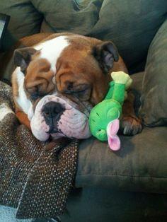 Cutest victorian bulldog ever....period...