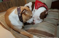 Little Miracles- Honey and Captain, two rescued pit bulls, help create miracles each time they go out to work as therapy dogs
