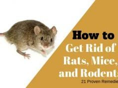 21 Easy and Inexpensive Home Remedies to Get Rid of Rats, Mice, and Similar Rodents Getting Rid Of Skunks, Getting Rid Of Mice, Nose Piercing Care, Keloid Piercing, Piercing Aftercare, Rat Repellent, Rat Infestation, Dog Hot Spots, Vicks Vapor Rub