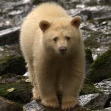 Spirit Bear cub in river. Wildlife viewing tours from Spirit Bear Lodge, Klemtu British Columbia Sloth Bear, Bear Cubs, Spirit Bear, Spirit Animal, Arctic Animals, Cute Animals, Wild Animals, Bear Species, Canadian Wildlife