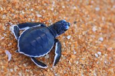 Tiny baby sea turtle crossing the sand on its rush to the sea. Baby Sea Turtles, Cute Turtles, Turtle Baby, Leatherback Turtle, Tortoise Turtle, Turtle Love, Ocean Turtle, Wale, Ocean Creatures