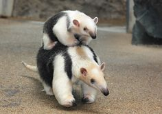 southern tamandua, also called the collared anteater or lesser anteater Pretty Animals, Cute Funny Animals, Animals Beautiful, Animals And Pets, Baby Animals, Giant Anteater, Cool Pets, Animal Photography, Pet Birds