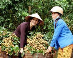Ở thời điểm hiện tại, nhãn lồng Hưng Yên đang giao nước 1, chưa thể cho thu hoạch nhưng tại các tuyến phố của Hà Nội thì đã ngập tràn các loại đặc sản này