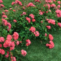 Tons of Color from a Groundcover Rose - The Coral Drift Rose gives you incredible double-blooms without hardly any care.     It's a hardy plant that tolerates winter's cold and even mild drought with relative ease.  The deep coral blossoms may be petite but they are also plentiful from spring through fall, covering the low growing bush...