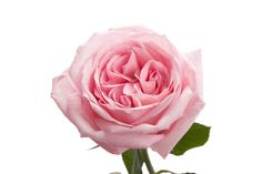 Light Pink Garden Rose - O'hara - Pink - Roses | Flower Muse. 72 stems for $160