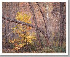Cottonwoods, Autumn, Harris Wash, Utah