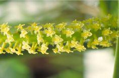 Oberonia ciliolata