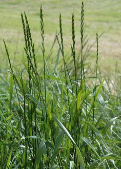 Kveke (Elytrigia repens, Elymus repens). Blant de vanligste og vanskeligste ugress. Lange, krypende og dyptgående jordstengler som er rike på næring - både til mann og kreatur.