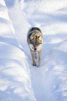 Einen Wolf als Hund halten? Na das wäre mal ein besonderes Haustier... ;-) #dog #animals #haustier #wolf #gutefrage