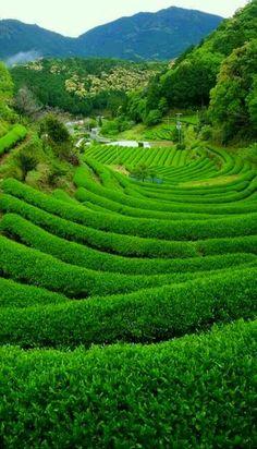 Green tea field in Irokawa, Japan