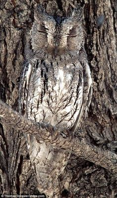 To be a transcendentalist, you have to become one with nature. This owl is one with the tree because it is camouflaging. Transcendentalists give their whole selves to nature and trust in nature because it is the closest thing that we have to God and the divine world.