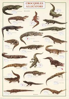 A great poster of Crocodiles and Alligators! Features nice illustrationsof both species and maps of habitat. Fully licensed. Ships fast. 27x39 inches. Need Pos
