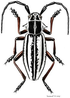 Dorcadion nivosum (Cerambycidae)