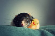 Who needs teddy bears when you have a duck. (Jessica Florence) Tags: pet bug rat rubberduck withatoy