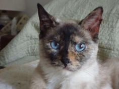 Siamese Cat Adoption Long Island