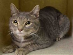COLORADO - A1088939 - - Manhattan  ***TO BE DESTROYED 09/25/16*** BEGINNER SWEETIE COLORADO HAS A COLD AND THE ACC WILL KILL HIM FOR IT AT NOON SUNDAY!! COLORADO is a super sweet kitty who is most likely a lost house pet. He got the highest BEGINNER RATING for giving head-butts and allowing all petting. COLORADO doesn't deserve to die for a very treatable cold! PLEASE ADOPT THIS 3 YEAR OLD SWEETHEART BY CONTACTING A RESCUE NOW – IF YOU NEED INFO EMAIL US AT HELP