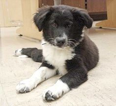 Max as a Pup.   Our Border Collie mix