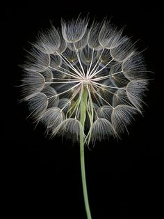 The really cool thing with this photo is that who ever took it, they stripped the seeds from half of the dandelion so you can see the center. The black background helps the details of the flower to stand out.