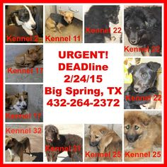 Big Spring TX - Shelter Animals Die Feb 24 - They Need Fosters - Please foster with your Local Reputable Rescue and Humane Societys