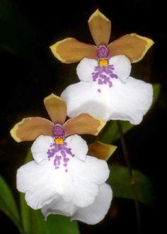 Foto: Caucaea nubigena - Ecuaflora