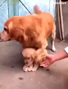 Cute Baby Dogs, Cute Funny Dogs, Cute Dogs And Puppies, Cute Funny Animals, Adorable Dogs, Baby Cats, Doggies, Cute Animal Videos, Cute Animal Pictures