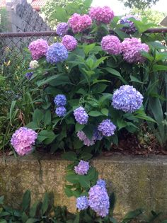 Hydrangeas from my garden