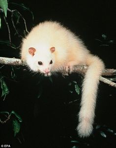 Albinismo Australiano - The White Australian Possum - rare and possibly extint Amazing Animals, Interesting Animals, Unusual Animals, Rare Animals, Animals Beautiful, Funny Animals, Strange Animals, Australian Possum, Australian Animals