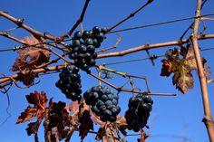 https://flic.kr/p/BnVcWi | Cabernet Sauvignon, el Terme, Torrelles de Foix.