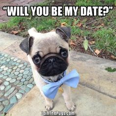 Does anyone volunteer to be this daper #Pug's date?www.jointhepugs.com