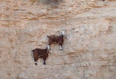 These 36 Goats On Cliffs Don't Know What Fear Is | Bored Panda