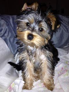 Lilli...yorkie puppy