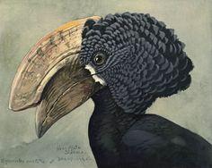 Louis Agassiz Fuertes   Helmeted hornbill   Album of Abyssinian birds and mammals (1930)