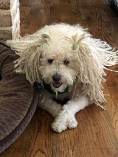 Puli Dog, Dogs, Animales, Pet Dogs, Doggies